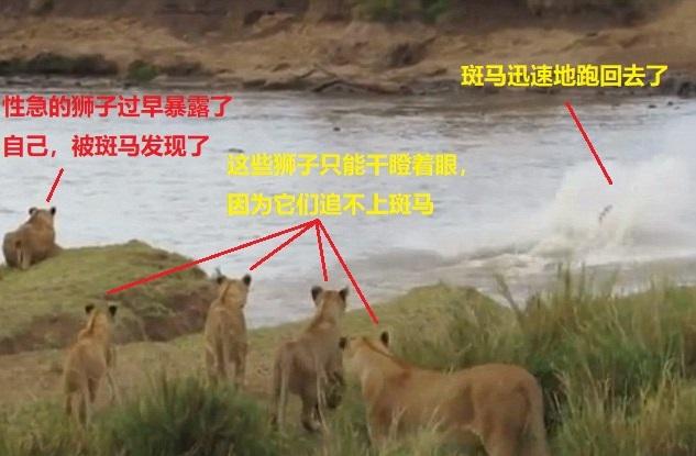 上图:斑马发现了性急的狮子,扭头就跑回去了。这么近的距离,狮子也追不上斑马,因为狮子的速度和耐力都比不过斑马,只有丧失警惕、丧失斗志的斑马才会被狮子吃掉。同样,虽然魔鬼「如同吼叫的狮子,遍地游行,寻找可吞吃的人」(彼前五8),但神限制了魔鬼的能力,只有不谨守、警醒,没有坚固信心基督徒才会被魔鬼吞噬;只要「你们要用坚固的信心抵挡牠」(彼前五9),就一定能脱离魔鬼。