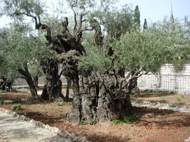 上图:客西马尼园现在有八棵巨大的橄榄树,可能在主耶稣的时代就已经存在了。
