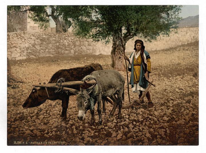上图:1890年拍摄的巴勒斯坦人用牛和驴同负一轭耕地。现藏于美国国会图书馆。