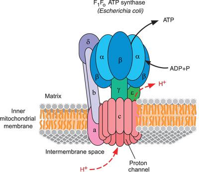 上图:ATP合酶机是所有的生命活动所依赖的蛋白复合体。我们若了解ATP合酶机令人难以置信的运行机制,就很难相信这样精密的纳米机器是自然进化出来的。 1、ATP(三磷酸腺苷)为细胞内几乎所有的活动提供能量,包括:制造DNA(脱氧核糖核酸)、RNA(核糖核酸)和蛋白质,清理废物,运输化学物质进出细胞,以及细胞内运输。 2、ATP由一种被称为ATP合成酶的蛋白复合体合成,它是世界上最小的旋转马达,存在于细菌细胞内膜、线粒体和叶绿体的内膜,负责制造ATP。 3、ATP合成酶制造ATP的原料是ADP(二磷酸腺苷)和磷酸分子。ATP合成酶一个接一个地操作这些微小的分子,所用的能量是由光合作用或糖分呼吸作用产生的氢离子(H+)电势能。 4、氢离子像风被吹过风车一样,通过ATP合成酶的一个特殊的隧道,形成一个带正电荷的电流,带动ATP合成酶的轴和基底一起转动,就像一个螺旋桨,每分钟超过9000转。 5、旋转轴造成ATP合成酶头部的挤压运动,使ADP与它旁边的磷酸吻接,形成一个ATP分子。其生产效率极高,几乎100%的旋转动量转换为化学能,每十个H+离子能产生三个ATP。人体的每一个细胞每分钟大约合成一百万个ATP分子,每天ATP产生和消耗量,超过人体体重的一半。 6、细胞内的其它蛋白质机器使用ATP的能量以后,把ATP降解为ADP和磷酸。随后ATP合成酶将ADP和磷酸回收,重新合成ATP。 7、ATP只能靠ATP合成酶来合成,而制造ATP合成酶的过程又需要ATP来提供能量,因此,对于进化论者来说,这是先有鸡还是先有蛋的一个悖论。