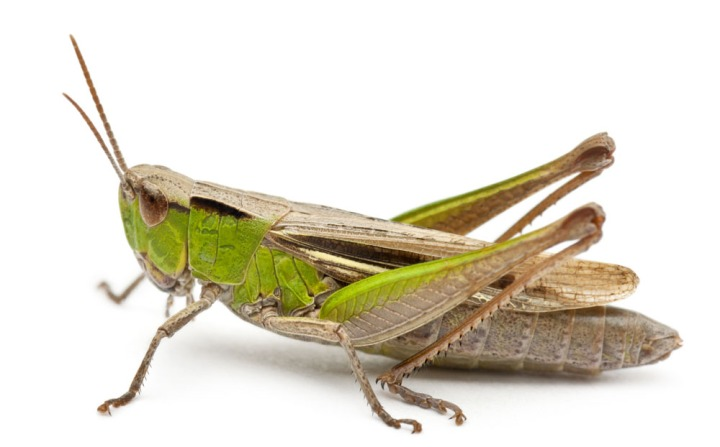上图:蝗虫。