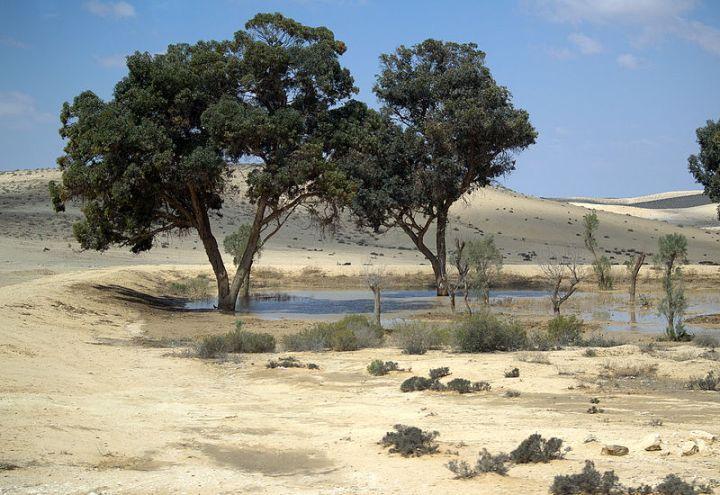 上图:以色列南地荒漠中有许多季节性的旱溪(Wadi)。栽种在溪水旁的树生命力尤其突出。