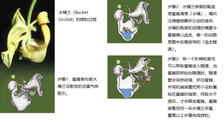上图:产于热带美洲的「水桶兰」(Bucket Orchid)有非常独特的花粉传播和授精机制。水桶兰复杂而精细的结构包括至少五项独立功能,并且必须按正确的次序运作:1、吸引蜜蜂;2、使蜜蜂掉进水桶;3、植物腺分泌液体注满水桶;4、提供隧道出口;5、在隧道内黏贴或除去花粉囊。缺少任何一个装置,或者装置运作不正常,都不能完成花粉授精、传种接代。而Euglossa meriana和Euglossa cordata这两个品种的雄蜂,也是为这项任务而特别设计的,它们互相依存,缺一不可。进化论无法解释这些现象的起源,创世记却告诉我们,这些花朵和蜜蜂在起初被创造和设计时,就已经按这个方式去运作,「各从其类」,永不改变。