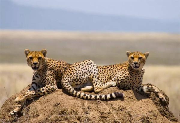 上图:猎豹是基因多样性最低的动物之一,每只猎豹的基因相似度有99%以上(大多数哺乳动物是80%),几乎就像克隆出来的一样,彼此长得很像。科学家认为,大约1万2千年前,一场大灾难消灭了全球75%的大型哺乳动物物种,极少数猎豹生存下来,维持了物种,但也导致基因多样性的缺失,存在数量瓶颈(Population Bottleneck),幼崽的死亡率高达70%。绝大部分猎豹都有4种遗传特征:1、精子质量低;2、腭骨(上颌骨后方成对的L形骨板)腐烂;3、容易被同一种传染病感染,一种致死病毒足以杀死所有猎豹;4、有弯弯的尾巴。
