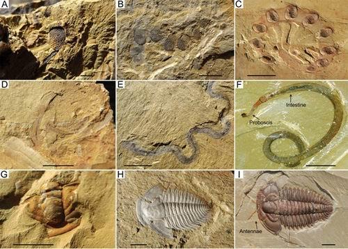 上图:澄江寒武纪岩层里的化石照片,证明当时有大量简单和复杂的生物突然同时出现在海洋里,而不是从简单到复杂逐渐进化而成的。这一现象被称为寒武纪生命大爆发(Cambrian Explosion),至今进化论者无法合理解释。中国云南省澄江化石地和加拿大BC省洛矶山脉的伯吉斯页岩(Burgess Shale Formation)都发现了这种化石群,由于化石埋藏地质条件特殊,不但保存了生物硬体化石,而且保存了清晰的软体组织印痕化石。