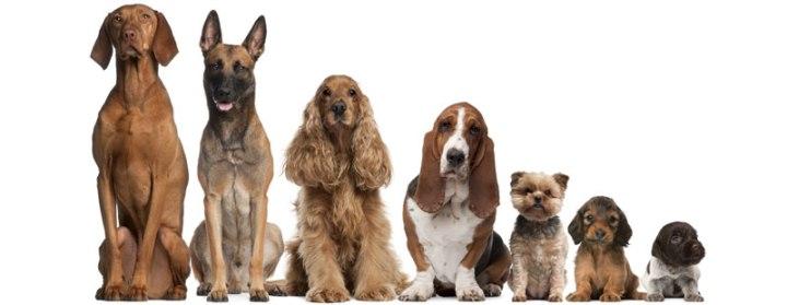 上图:狗和狼是同一种动物,挪亚带进方舟的可能是狼的祖先。人驯化狼的后代,经过育种,至今已经繁衍出700个品种的狗。神在创造时,为每个物种都预备好了许多种基因,可供不同环境的选择,称为基因多样性(Genetic Diversity)。物种在不同的环境和遗传条件下,可以表现出不同的基因特性,繁衍出不同的品种。狗的祖先有足够的基因多样性,经过人工育种,至今已经培育出700多个品种的狗,虽然外表相差很大,但还是「各从其类」,始终属于犬科、犬属、狼种、犬亚种。鸽子、小鼠的基因多样性也足够大,可以培养出许多品种。