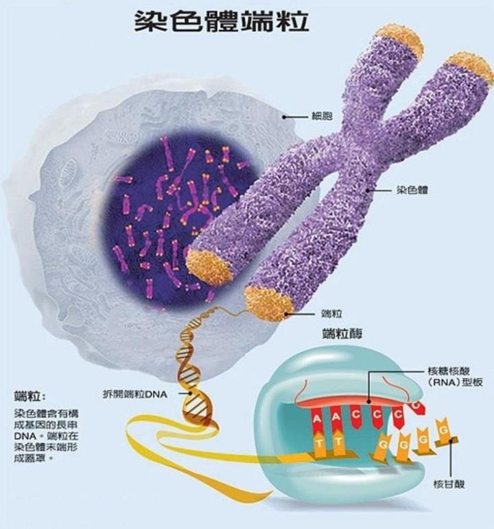 上图:染色体端粒(Telomere)和端粒酶(Telomerase)。人体的每个器官都由许多细胞组成,每个细胞的寿命都是有限的,必须分裂产生新的细胞来补充已死的细胞。当没有足够的新细胞补充已死的细胞时,器官就会逐渐衰竭,最终导致死亡。因此,单个细胞的寿命和细胞分裂的次数决定了人类的平均寿命。 1、人体单个细胞的寿命是有限的:细胞在生命过程中,DNA遗传物质的损伤和代谢过程中的废物积累到一定程度,会导致细胞的正常功能受损。这时为了防止发生癌变,细胞会自动启动被称为细胞凋亡(Apoptosis)的「程序性死亡(Programmed Cell Death)」。在大洪水之前,没有那么多污染和宇宙射线,单个细胞的寿命会比较长。 2、细胞分裂次数是有限的:端粒(Telomere)是染色体末端的DNA重复碱基对,作用是保持染色体的完整性和控制细胞分裂周期,作用相当于鞋带两端的「帽子」。 细胞每分裂一次,DNA就要复制一次,端粒就会缩短一点。一旦端粒消耗殆尽,细胞将会启动凋亡机制。端粒酶(Telomerase)可以把端粒修复延长,让端粒不会因细胞分裂而损耗,增加细胞分裂复制的次数。但在正常人体细胞中,端粒酶的活性受到相当严密的调控,只有在造血细胞、干细胞和生殖细胞中才具有活性。在大洪水之前,神只要控制端粒的长度或端粒酶的活性,就可以延长人的寿命。 3、人并不能通过激活端粒酶来达到长寿,因为端粒酶过多会导致癌症,癌细胞就是不会停止分裂的细胞;端粒酶太少会降低人体正常的再生能力,同样会导致癌症。只有神有能力精心调控端粒酶,掌管人的寿命。 4、正如正常功能受损的细胞会自动启动「程序性死亡」,以免成为不死的癌细胞,影响整个人体的生存。被罪污染的人也会启动「程序性死亡」,以免「恶人活千年」,整个神的创造被败坏,因此「死又是从罪来的」(罗五12)。