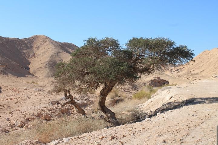 上图:栽在犹大旷野一条旱溪旁的树。愿每个读经的人都在人生的旷野中蒙福(诗一3): 他要像一棵树栽在溪水旁, 按时候结果子, 叶子也不枯干。 凡他所做的尽都顺利。