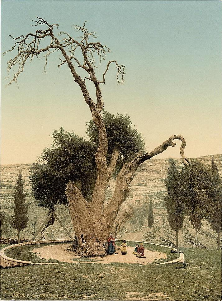 上图:美国国会图书馆收藏的1890年幔利橡树(Oak of Mamre)照片。这棵橡树大约有5000年的历史,位于希伯仑附近的幔利西南2公里处,也被称为亚伯拉罕的橡树。传统认为这就是亚伯拉罕支搭帐棚、并招待三位天使的地方。