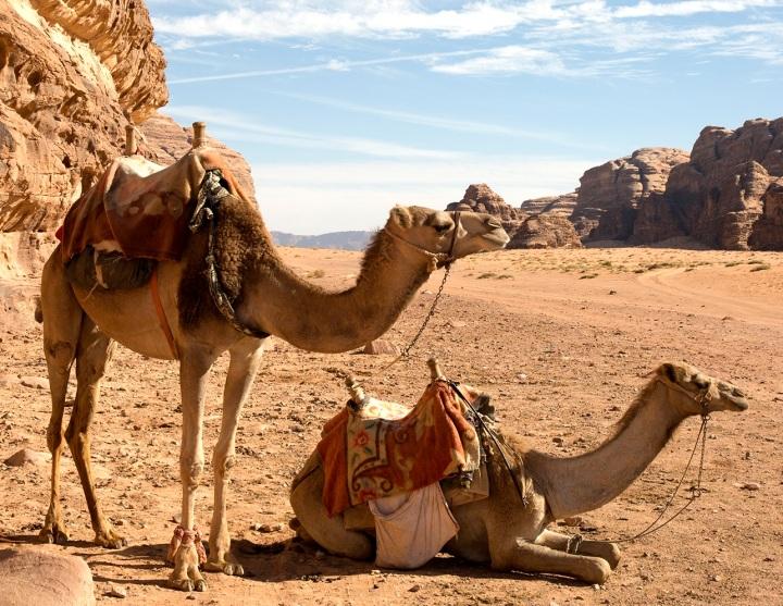 上图:约旦贝都因人的单峰骆驼,亚伯拉罕的骆驼就是这种样子。全世界94%的骆驼是单峰骆驼(Dromedaries),6%的骆驼是双峰骆驼(Bactrian camels)。骆驼于主前1200年左右才开始在大规模的游牧或军队中使用,因此曾有人质疑亚伯拉罕的骆驼是后来编的故事。但考古证据表明,索马里和南部阿拉伯早在主前3000年就开始驯养单峰骆驼作为家畜,埃及也出土了许多主前2500-1400年的骆驼文物。