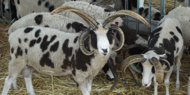 上图:雅各羊(Jacob Sheep)是一种珍稀的古老品种,全身有黑白相间的斑点,有四只角,最接近雅各当初所饲养的羊。根据基因鉴定,雅各羊的原产地是古代叙利亚,即拉班的家乡哈兰附近。这种羊可能被雅各从哈兰带到迦南地,又随着雅各下埃及被带到北非,然后从北非被带到西班牙,接着被带到英国,继而被带到了加拿大,最后于2016年被带回以色列。