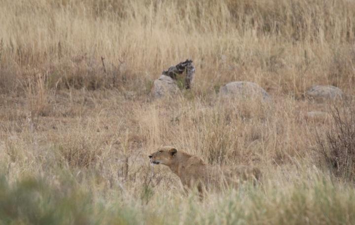 上图:东非大草原上,一只狮子埋伏在溪水边草丛里,等候伏击一群斑马。由于狮子没有长途追击的耐力,所以一般采取伏击的方式潜伏等候猎物,然后突然跳起将猎物扑倒,攻击时的瞬间时速可达60-80公里。