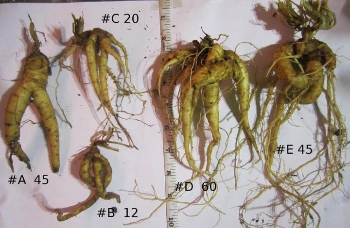 上图:风茄(Mandrake)是一种多年生茄参属植物,根部像人,产于地中海周围地区,在收割小麦时成熟。在中东文化中认为它有帮助受孕的作用。