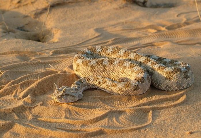 上图:虺,就是角蝰(Cerastes)。主要分布于北非、阿拉伯、西奈半岛和南地的沙漠地带,双眼眶上有一对竖立的刺状角鳞,毒性很强。