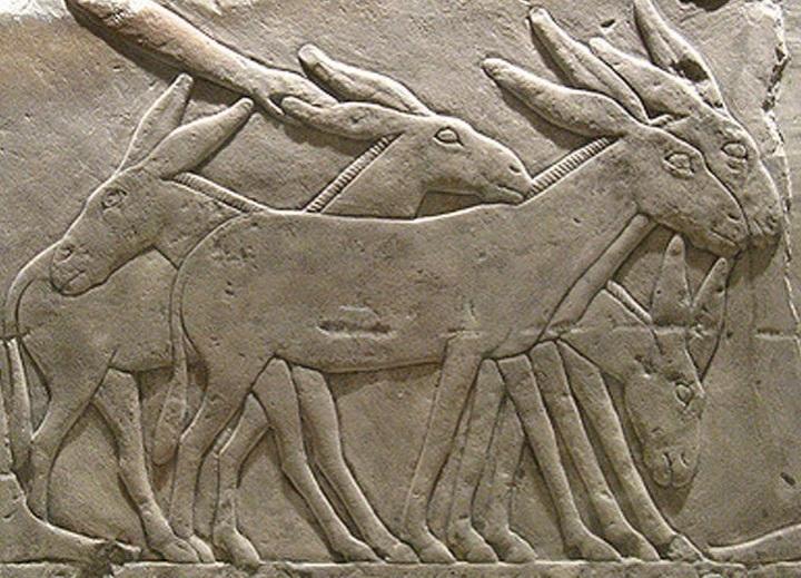 上图:主前24世纪古埃及Seshemnefer IV墓葬浮雕上的驴,现藏于柏林埃及博物馆。驴生活在沙漠和半沙漠地带,可以三天不喝水,古代埃及和迦南人都用驴子驮货物。古代迦南地的驴可能是从埃及进口的。一匹驴驮重100公斤左右,十匹驴能驮一吨粮食,只够雅各全家70人能吃一个月(还不算仆人)。