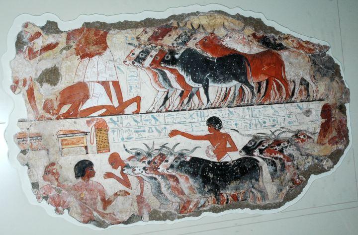 上图:主前1350年埃及壁画上的牛,现藏于大英博物馆。古埃及的牛没有隆起的背,有两只伸展的大角。古埃及人通常把牛放在不适合耕种的草场牧养,这些草场位于远离尼罗河或灌溉系统的地方,或者是潮湿的尼罗河三角洲。古埃及人用牛来耕种、献祭,并获取肉、奶和皮。许多埃及神祗都以牛的形象出现,如Hathor、Ptah、Menthu、Atum-Ra。