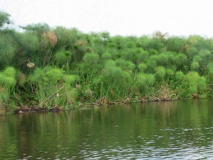 上图:尼罗河岸边生长的芦荻,也就是蒲草。圣经用「芦苇中的野兽」(诗六十八30)、「卧在自己河中的大鱼」(结二十九3)来代表埃及法老。