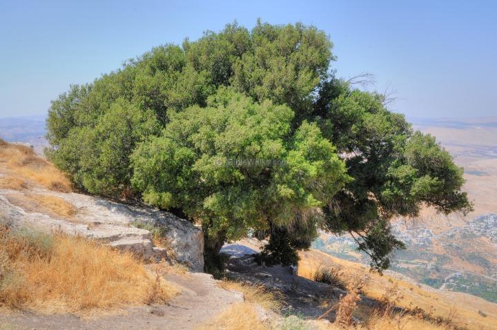 上图:示剑东面Mount Kabir山上的橡树。橡树茂密(结六13)、坚固(摩二9),常被作为当地的地标(创十二6;十三18;三十五8;书十九33;撒上十3)。迦南人常在橡树下敬拜偶像(赛五十七5;何四13)。