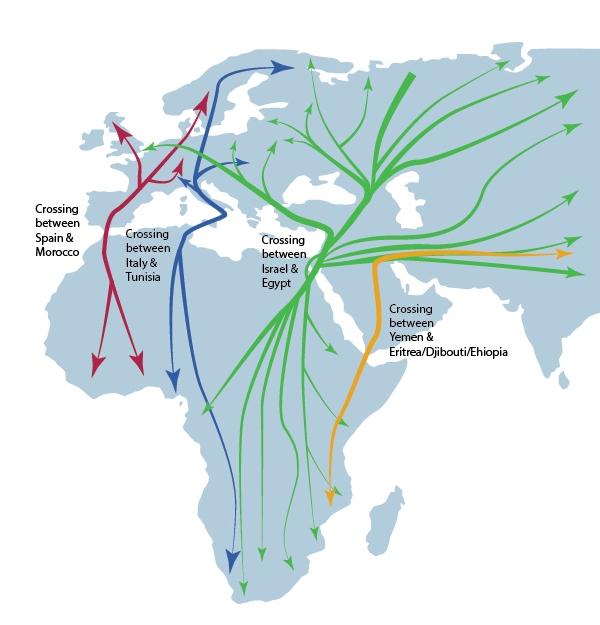 上图:鸟类在欧亚大陆和非洲之间的迁徙路线,其中最主要的路线经过以色列和埃及之间的西奈半岛。