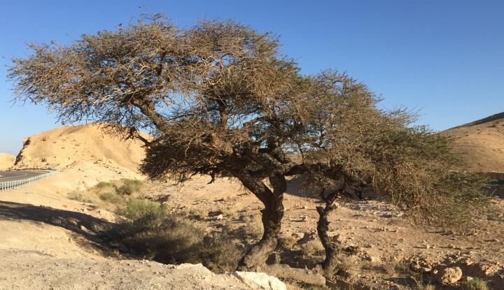 上图:犹大旷野中的一棵皂荚木(Acacia),树形如伞,树身有剌,木质坚硬。