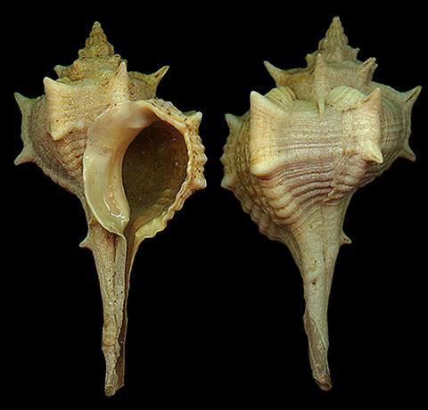 上图:地中海的染料骨螺(Bolinus brandaris),每个骨螺只能产生一滴紫色颜料,所以非常贵重,被人当作权力、荣耀和财富的象征。古代罗马的法令规定,如果平民穿上染了上等紫色的袍服,就会背上叛国的罪名。古代腓尼基港口推罗以贩卖紫色衣料驰名,所以罗马帝国把紫色叫作推罗紫。