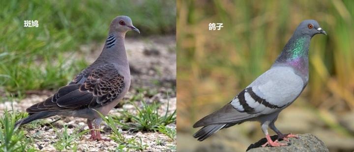 上图:斑鸠和鸽子都是鸽亚科(Columbinae)的鸟类,外形相似,性情驯良,从外表很难区分雌雄。英文俗名Pigeons和Dove在中文中都可以译成鸽或鸠,通常较小的俗称Dove,较大的俗称Pigeon,并没有严谨的科学分类标准。