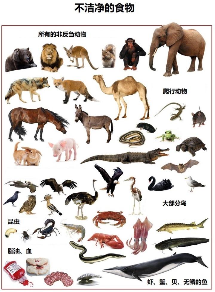 上图:不洁净的食物。神把绝大部分野生动物都划为不可吃的「不洁净」动物,实际上是对这些动物最好的保护。