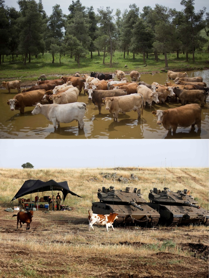 上图:与以色列国防军坦克和睦共处的「巴珊大力的公牛」。巴珊地的南部就是现代的戈兰高地,自古就以肥沃的牧场和肥美的牲畜著称,属于玛拿西的河东半个支派,罗马帝国开始称之为戈兰。在1967年第三次中东战争期间,以色列击败了叙利亚,占领戈兰高地。