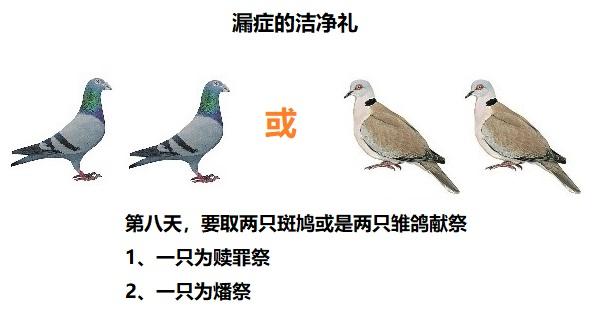 上图:漏症的洁净礼,无论贫富、男女,祭物都是两只斑鸠或两只雏鸽。