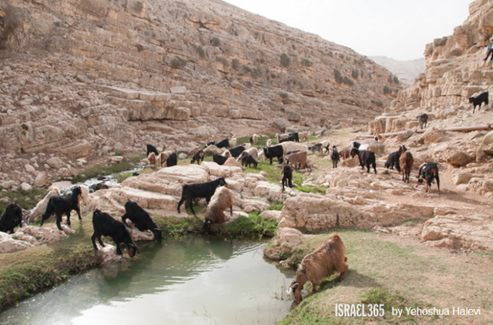 上图:一群羊在Qelt旱溪(Wadi Qelt,or Nahal Prat)喝水。以色列的绵羊在雨季放牧在雨水滋润的草地上,旱季则吃杂草和田中收割剩下的残茬。在雨季,绵羊从嫩草中获得水分,可以几周不喝水;但在旱季,成年的绵羊每天需要喝4-12升水。山羊能独立找水,但会迷路,而绵羊则完全倚靠牧人寻觅水草。