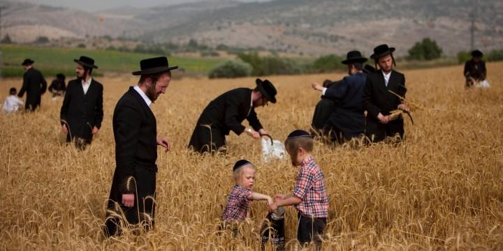 上图:正统犹太人正在用镰刀割小麦,准备七七节(Shavuot)庆典。这一天他们要在会堂诵读妥拉中有关十诫的经文,并诵读路得记。