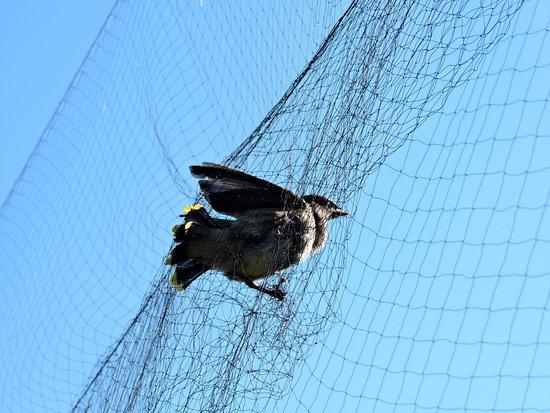 上图:被网抓住的鸟,如果没有人把它的脚从网里拉出来,只有死路一条。信徒也常常陷入世界、情欲和魔鬼的「网」中。