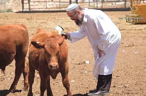 上图:一位圣殿研究所的犹太拉比正在用放大镜检查红母牛,连蹄子都必须是红的,只要发现有两根杂毛就是「纯红」,毛若不直就不是「未曾负轭」。《密西拿》记载,从摩西时代一直到第二圣殿被毁,总共使用了9只红母牛,其中摩西预备了第一只,以斯拉预备了第二只(Mishnah Parah 3:5)。红母牛并不罕见,罕见的是「纯红的母牛」。如果没有「纯红的母牛」,犹太人即使重建了圣殿,也不能行洁净礼、使用圣殿。因此,寻找「纯红的母牛」是犹太人重建圣殿必不可少的步骤。以色列圣殿研究所致力于培育「没有残疾、未曾负轭、纯红的母牛」(民十九2),为重建圣殿做准备。