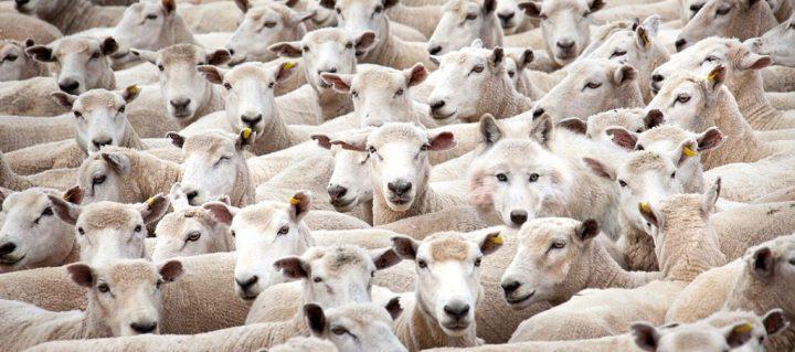 上图:假先知就像一只混在羊群中的狼,粗略一看很难辨别。因此,凡是自称「先知」的人,我们都应当根据圣经里明确的教导,小心听其言、观其行,「所说的若不成就,也无效验,这就是耶和华所未曾吩咐的」(申十八22)。即使我们还不熟悉圣经,也不要急着推崇某人为「先知」、盲目跟从,而应当让时间来证明一切。有些信徒热衷于参加各种「先知特会」、追求「先知性恩赐」、发表「先知性信息」、预报「末日的时间」,其实按照圣经的标准,今天许多「说预言」模棱两可、牵强附会的所谓「先知」,都是假先知。
