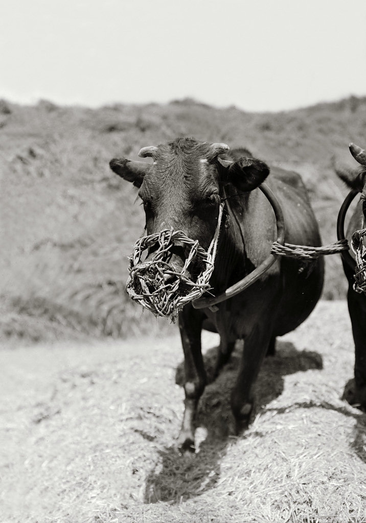 上图:一只被笼住嘴的牛在踹谷。