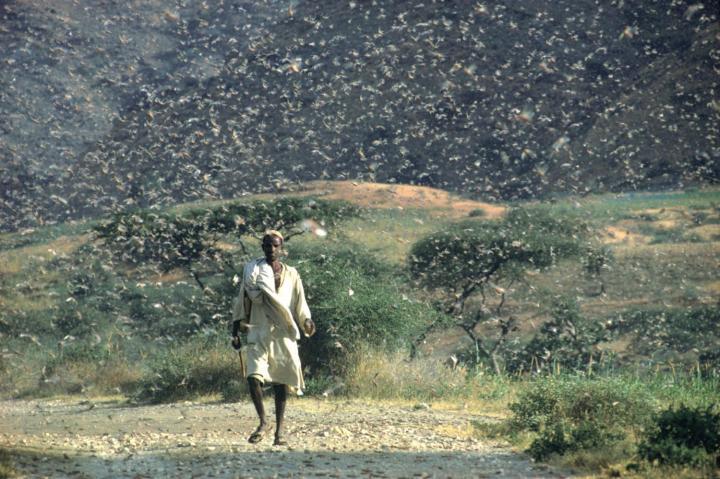 上图:1968年7月埃塞俄比亚爆发的沙漠蝗灾。蝗虫是古代中东常见的灾祸,会对农作物造成彻底的破坏。蝗虫的繁殖地在苏丹一带,在二、三月间开始袭击,随着风向迁徙,或到埃及,或到迦南。