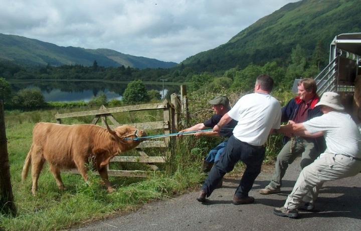 上图:一头「不肯听从,扭转肩头,塞耳不听」(亚七12)的牛。人在神面前的本相就像这头牛。