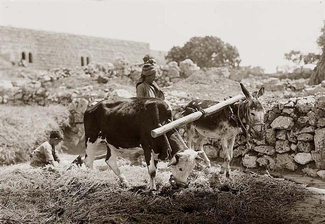 上图:巴勒斯坦人用牛和驴共负一轭来踹谷,牛和驴的嘴都被笼住了。摄于1934年。