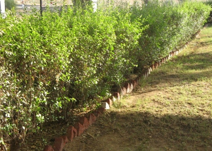 上图:「凤仙花」围成的篱笆墙。圣经中的「凤仙花」(歌一14;四13)在英文中译为散沫花(Henna)、指甲花(Camphire),是一种高2至7米的大灌木,属于千屈菜科指甲花属。第三年成熟后的指甲花含有一种红橙色的染料分子指甲花醌(lawsone),与蛋白质有很好的亲和力,常被用来作为皮肤、头发、指甲、皮革、丝与羊毛的染料,其中叶柄中的指甲花醌的含量最高。中国的凤仙花也叫指甲花,但却是一年生草本植物,属于凤仙花科凤仙花属,花汁也可以用来染指甲。成熟的以色列的「凤仙花」可以比喻保护,而中国的「凤仙花」却没有任何保护的作用;以色列「凤仙花」的染料是从成熟植株的叶子里提取的,而中国的「凤仙花」的染料却是把花碾碎后提取的。