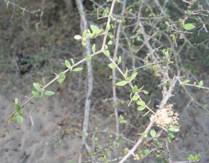 上图:以色列的「凤仙花」(散沫花、指甲花)在第三年成熟,叶子可以用来提取染料,部分小枝会退变成坚硬的针刺。古代以色列人沿着葡萄园外圈栽种「凤仙花」,作为保护葡萄园免受动物破坏的篱笆墙。因此,「我以我的良人为一棵凤仙花」(歌一16),也是比喻良人是佳偶的保护者。