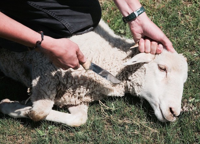 上图:一只「将宰的羊」,毫无反抗能力。「我们为祢的缘故终日被杀;人看我们如将宰的羊」(诗四十四22)。