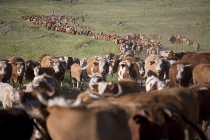 上图:巴珊(戈兰高地)的牛群,完全倚靠神所赐的雨水、青草生长。所以神说:「树林中的百兽是我的,千山上的牲畜也是我的」(诗五十10)。