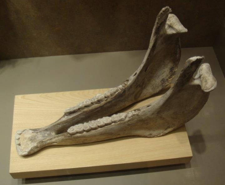 上图:驴颚骨。