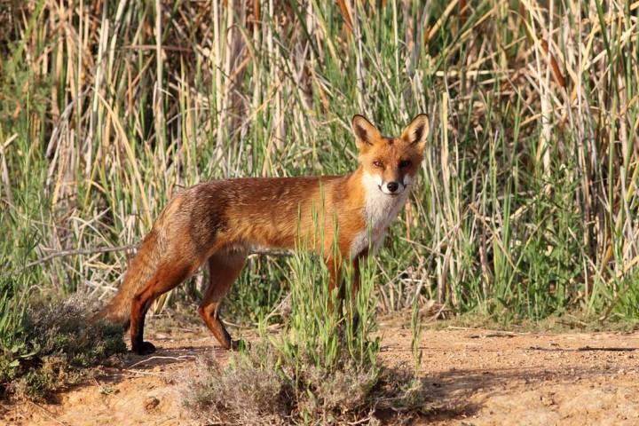 上图:生活在以色列的丘陵和平原地区的狐狸主要是赤狐(Red Fox)。赤狐又名火狐,腹部白色,腿和耳尖黑色,其他部分都是红色。