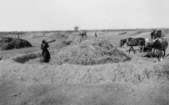 上图:19世纪末,巴勒斯坦的农夫在打谷场上打麦子,他们用牲畜拖着碌碡碾压麦子,把麦粒和糠秕脱离。