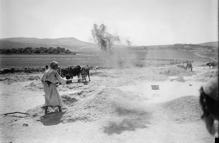 上图:19世纪末,巴勒斯坦的农夫在打谷场上扬场。农夫利用碌碡把麦粒和糠秕分开后,再用木叉把麦粒和脱离的糠秕一起扬在空中,风把比较轻的糠秕吹到远处,而比较重的麦粒则落在近处,这样可以把麦粒和糠秕分开。