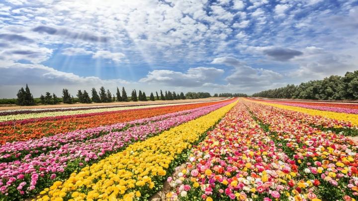 上图:以色列南部基布兹农场的金凤花田,这景象正是:「这一切都欢呼歌唱」(诗六十五13)。2018年,以色列大约出口了5亿株鲜花。