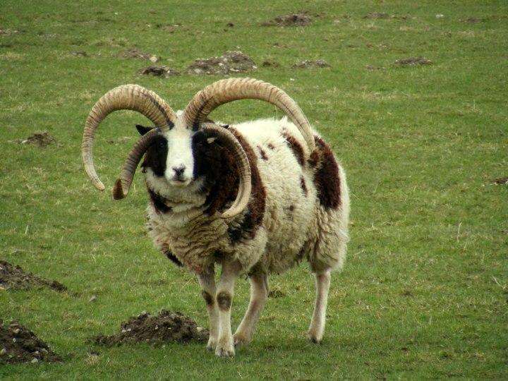 上图:长着四只角的雅各羊(Jacob Sheep)。雅各羊是一种珍稀的古老品种,全身有黑白相间的斑点,最接近雅各当初所饲养的羊。根据基因鉴定,雅各羊的原产地是古代叙利亚,即拉班的家乡哈兰附近。这种羊可能被雅各从哈兰带到迦南地,又随着雅各下埃及被带到北非,然后从北非被带到西班牙,接着被带到英国,继而被带到了加拿大,最后于2016年被带回以色列。