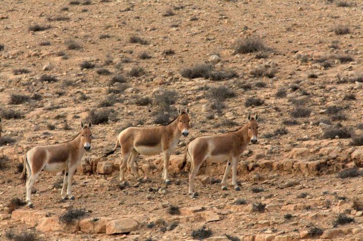 上图:以色列南地旷野Mitzpeh Ramon附近的野驴,是一种固执而难以驯养的野生动物。