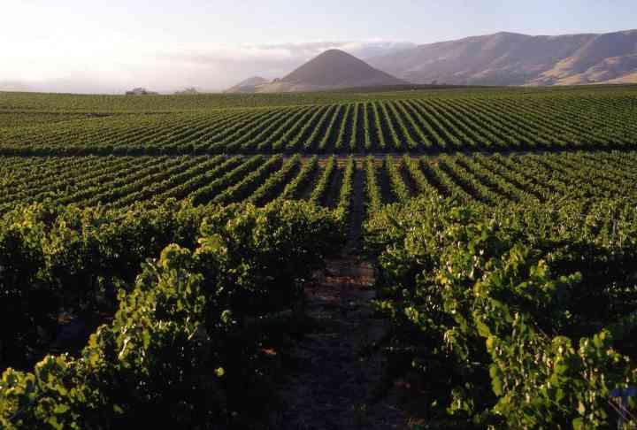 上图:耶斯列平原的葡萄园。以色列盛产葡萄,葡萄酒是古代中东人的重要饮料。